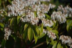 Tropeçar a abelha Imagem de Stock Royalty Free