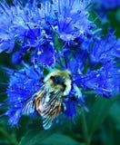 Tropeçar a abelha em Caryopteris Foto de Stock Royalty Free