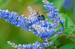 Tropeçar a abelha em uma árvore pura do vitex Fotos de Stock Royalty Free