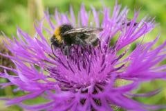 Tropeçar a abelha em uma flor cor-de-rosa fotos de stock
