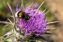 Tropeçar a abelha na flor roxa Fotografia de Stock
