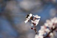 Tropeçar a abelha que alimenta na flor da mola fotos de stock royalty free