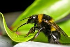 Tropeçar a abelha que bebe fazendo barulho a água foto de stock royalty free