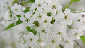Tropeçar a abelha que poliniza as flores de cerejeira vídeos de arquivo