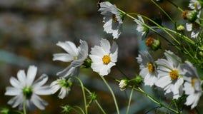 Tropeçar a abelha que poliniza um cosmos da flor video estoque