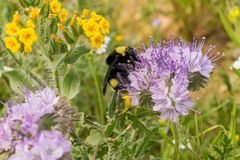 Tropeçar a abelha que poliniza uma flor selvagem do cryptantha de Lacy Phacelia Phacelia, Califórnia imagem de stock