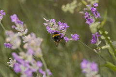 Tropeçar a abelha que procura o pólen ou o néctar Foto de Stock Royalty Free