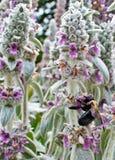 Tropeçar a abelha que recolhe o pólen Imagem de Stock Royalty Free