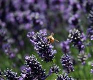 Tropeçar a abelha que senta-se na alfazema imagem de stock royalty free