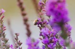 Tropeçar a abelha que senta-se na flor roxa, alfazema Fotografia de Stock Royalty Free