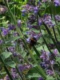 Tropeçar a abelha que snacking no néctar fotos de stock