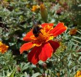 Tropeçar a abelha recolhe o néctar do cravo-de-defunto da flor Fotografia de Stock Royalty Free