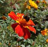 Tropeçar a abelha recolhe o néctar do cravo-de-defunto da flor Foto de Stock Royalty Free
