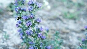 Tropeçar a abelha recolhe o pólen e o néctar das flores roxas Movimento lento vídeos de arquivo