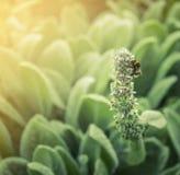 Tropeçar a abelha em flores do jardim no fundo da luz solar, exterior Fotos de Stock Royalty Free