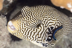 Tropecal fish pufferfish Stock Photography