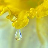 Tropfen auf dem Blumenblatt der Narzissenblume Stockfotos