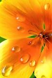 Tropfen auf einem Blumenblatt Stockfotos