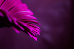 Tropfen auf einem purpurroten Gerbera Stockbild
