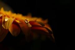 Tropfen auf orange Blume Stockfoto