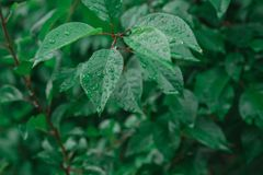 Tropfen der Regenlüge auf saftigen Blättern stockbild