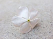 Tropfen der weißen Blume Lizenzfreies Stockbild