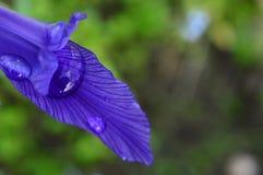 Tropfen des Regenwassers auf einem blauen Irisblumenblatt angesichts des Sonnenlichts Stockbilder