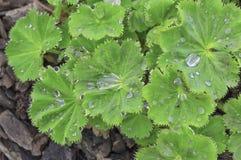 Tropfen des Tauregens regnen auf grünen Blättern an einem sonnigen Tag Stockbilder
