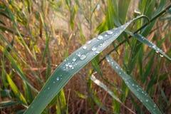 Tropfen des Taus auf einem grünen Gras Lizenzfreie Stockbilder