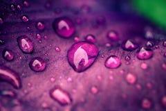 Tropfen des Taus auf einer purpurroten Blumenblattnahaufnahme stockfoto