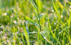 Tropfen des Taus auf grünem Gras Stockbild