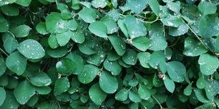 Tropfen des Taus auf nass Blättern nach Regen stockfotos