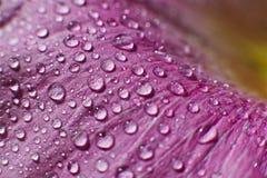 Tropfen des Taus wässern auf einem Blumenblumenblatt Stockfoto