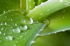 Tropfen des Wassers auf Blatt der Aloe Stockfotos