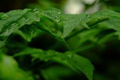 Tropfen des Wassers auf dem grünen Blatt Lizenzfreies Stockfoto