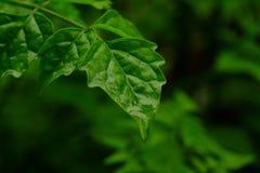 Tropfen des Wassers auf dem grünen Blatt Lizenzfreie Stockfotografie