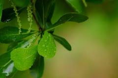 Tropfen des Wassers auf dem grünen Blatt Lizenzfreies Stockbild
