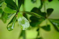 Tropfen des Wassers auf dem grünen Blatt Lizenzfreie Stockbilder