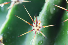Tropfen des Wassers auf einem Kaktus Lizenzfreies Stockfoto