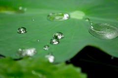 Tropfen des Wassers auf einem Lotosblatt Stockbild