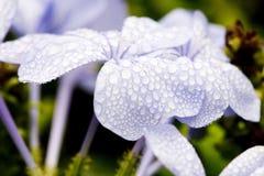 Tropfen des Wassers auf purpurroten Blumen Lizenzfreies Stockbild