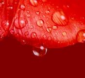 Tropfen des Wassers auf Tulpe lizenzfreie stockfotografie