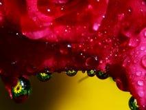 Tropfen Rosen-Blumenblätter n Stockbild