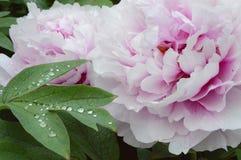 Tropfenblatttau watter Blumenregen Stockfoto