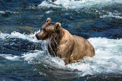Tropfendes Wasser des nassen Grizzlybären vom Gesicht Lizenzfreies Stockbild
