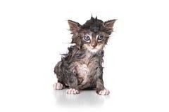 Tropfennasses Kätzchen auf Weiß Stockfotos