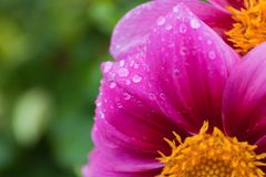 Tropfenwasser auf rosa Blume Lizenzfreie Stockbilder