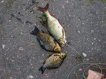 Trophées non riches de pêche image libre de droits