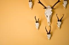 Trophée de klaxons de cerfs communs sur le mur Photographie stock