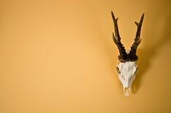 Trophée de klaxons de cerfs communs sur le mur Photographie stock libre de droits
